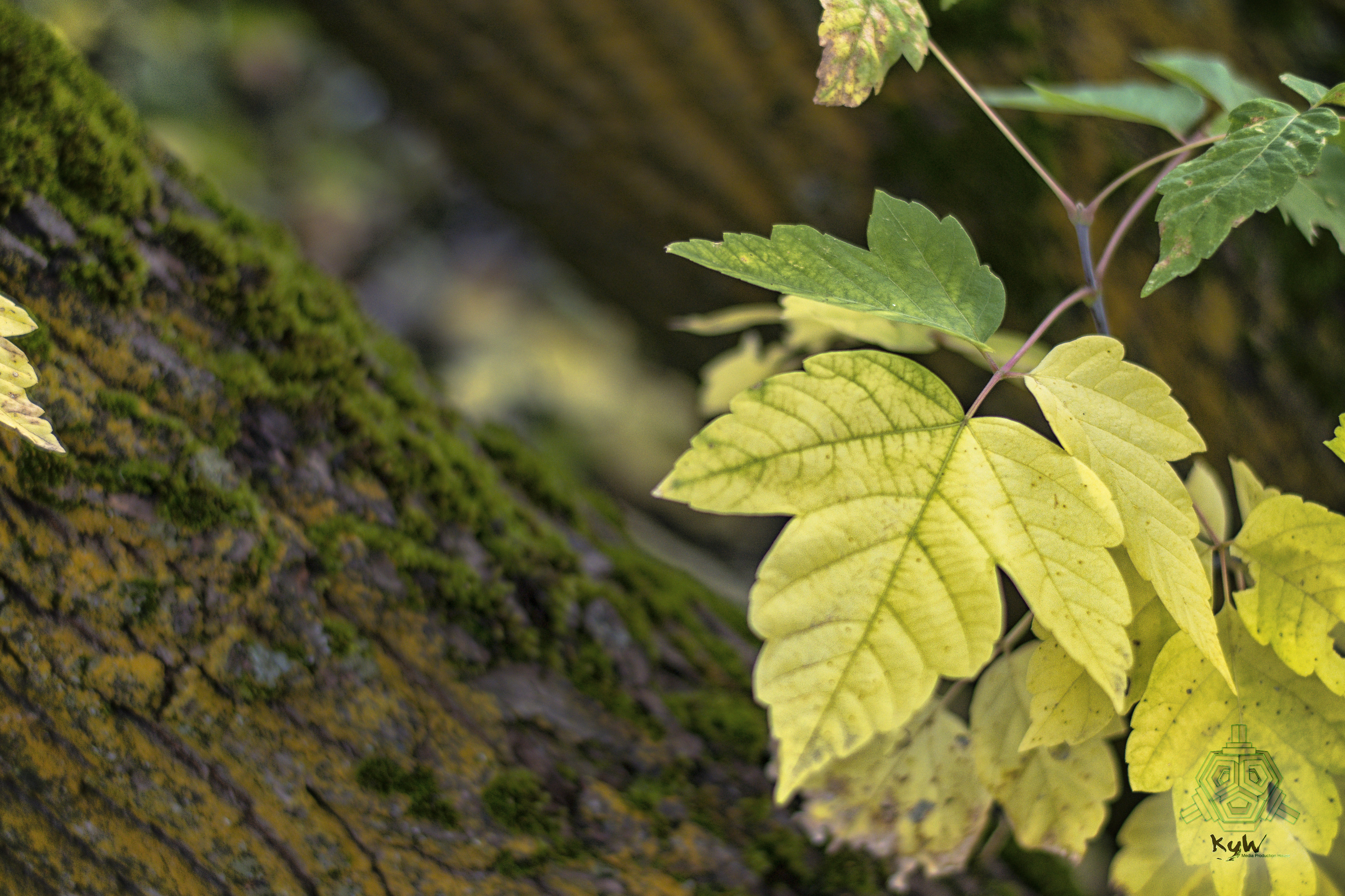 free desktop background image for fall season early autumn colors and mossy bark