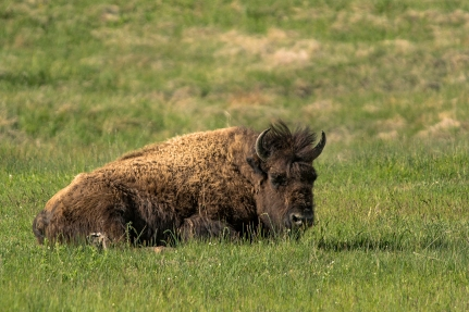 Bison chilling in the grass enjoying a nice breeze in Yellowstone National Park