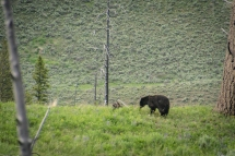 Black bear walking around a hill in Yellowstone National Park