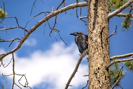 This raven was a bad ass. Just chillin in a tree waiting to steal from everybody. We caught him later unzipping and stealing from a motorcycle saddle bag
