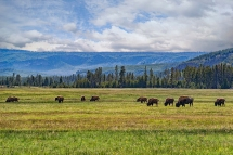 Heard of bison grazing in Yellowstone National Park